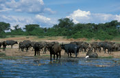 Buffalo herd (Syncerus caffer) at the Kazinga channel, Queen Elizabeth National Park, Uganda