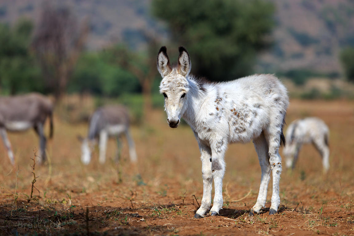 Baby donkey in a farm field near Kadel Village, Pushkar, Rajasthan, India