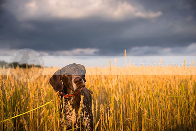 curious brown ticked dog tilting head in wheat field under sky