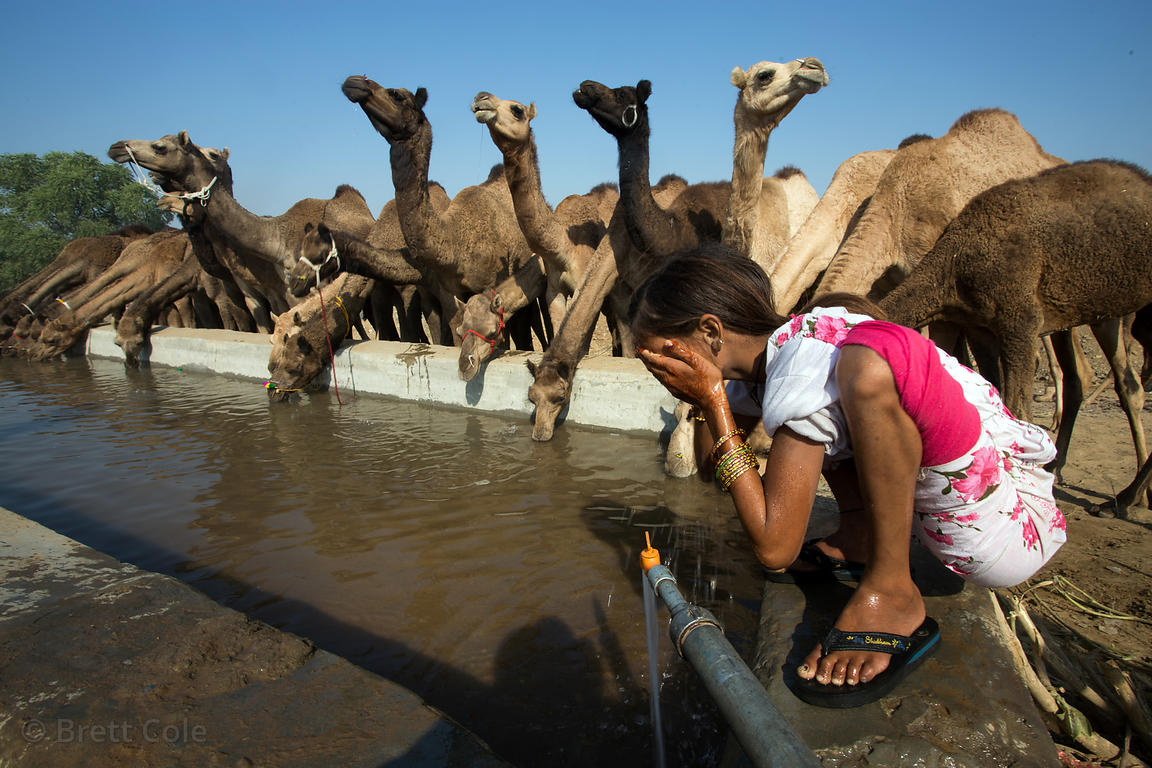 A girl washes her face in a trough while camels drink, at the Pushkar Camel Fair, Pushkar, Rajasthan, India