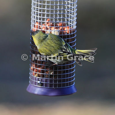 The head, back and tail of a Eurasian Siskin male (Carduelis spinus) on a garden bird peanut feeder, Badenoch & Strathspey, S...