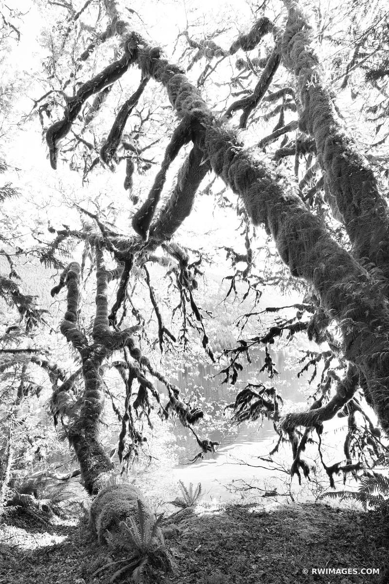 MOSS COVERED TREES LAKE CRESCENT OLYMPIC NATIONAL PARK WASHINGTON BLACK AND WHITE VERTICAL