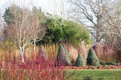 White stemmed birches with cornus and Picea glauca 'Haal' = Alberta Blue seen through red stemmed cornus. Sir Harold Hillier ...