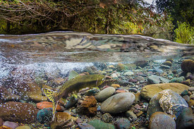 Female Pink Salmon on Spawning Grounds in the Dungeness River in Olympic National Forest