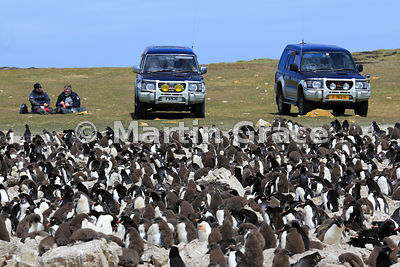 Southern Rockhopper Penguin-watching, Pebble Island style