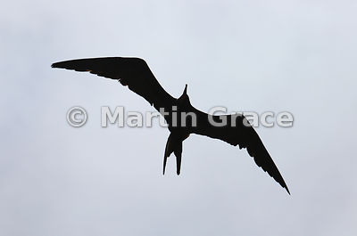 Great Frigatebird (Fregata minor ridgwayi) in classic silhouette, Punta Pitt, San Cristobal, Galapagos Islands