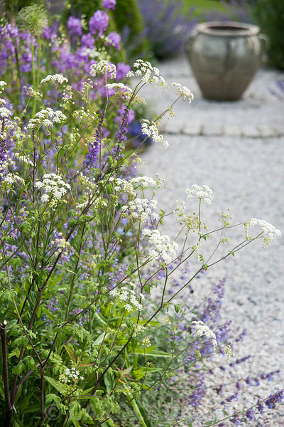 Anthriscus, catmint and linaria in a flower garden with a glazed ceramic pot beyond.