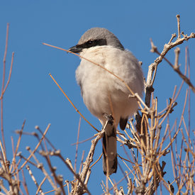 Shrike wildlife photos