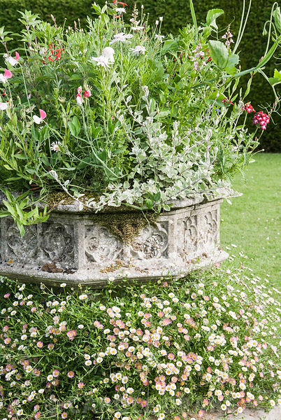 Stone planter surrounded with Erigeron karvinskianus, planted with a frothy mix of Salvia elegans, helichrysum, sweet pea, ve...