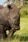 White rhinoceros (Ceratotherium simum) with red-billed oxpecker, MalaMala Game Reserve, Greater Kruger National Park, South A...