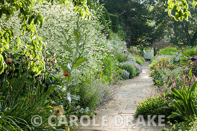 Crambe cordifolia creates a cloud of white flowers in the herbaceous border with Scotch thistle, catmint and poppies round ab...