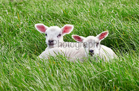 Sheep with their young lambs in a green field in springtime in the English countryside. Livestock, hill farming.