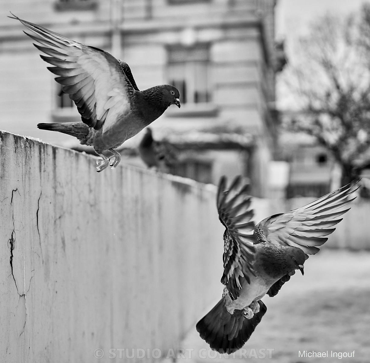 08-02-18_colombes_pigeon_envol_mur_atterissage_plume_aile_duo_BNW_Instagram