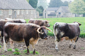 The estate has a herd of rare Long Horn cattle. Rousham House, Bicester, Oxon, UK