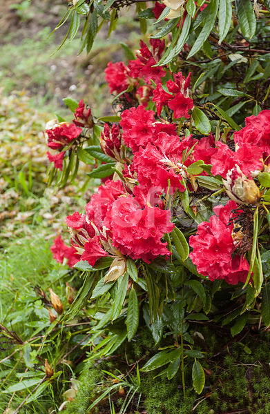 Rhododendron griersonianum, rouge