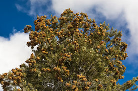 Single-leaf Pinyon Pine in Nevada