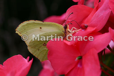Under side of a female Brimstone butterfly (Gonepteryx rhamni) feeding on a garden Impatiens sp flower (known as Busy Lizzie ...