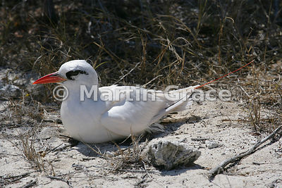 Red-Billed Tropic Bird (Phaethon aethereus), Nosy Ve Island, Madagascar