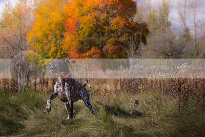 excited goofy brown shorthaired pointer dog turning in meadow