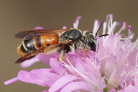 Andrena hattorfiana, female at Frasnes - Viroin