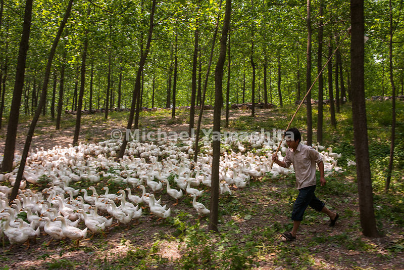 A young man herds his flock on an early morning search for food before leading the geese to the canal just south of Huaian fo...