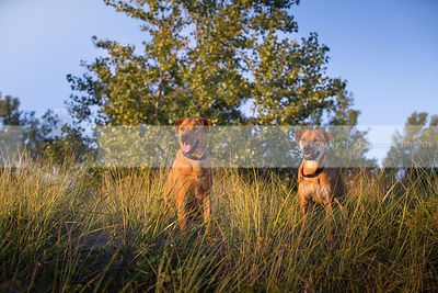 two cross breed dogs together in natural grasses