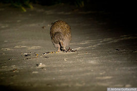 #3 Stewart island brown Kiwi - Stewart island - New Zealand