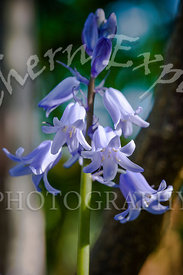 Bluebell-Edit