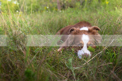 red and white dog peeking hiding in field grasses in summer