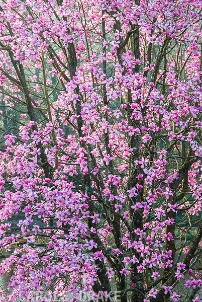 Luscious pink Magnolia sprengeri 'Marwood Spring' on the bank above the top pond. Marwood Hill Gardens, Barnstaple, Devon, UK
