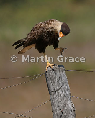 Southern Crested Caracara (Caracara plancus) standing on one leg on a fence post, Northern Pantanal, Mato Grosso, Brazil