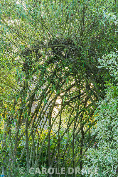 Woven willow tunnel. Westonbury Mill Water Garden, Pembridge, Herefordshire, UK