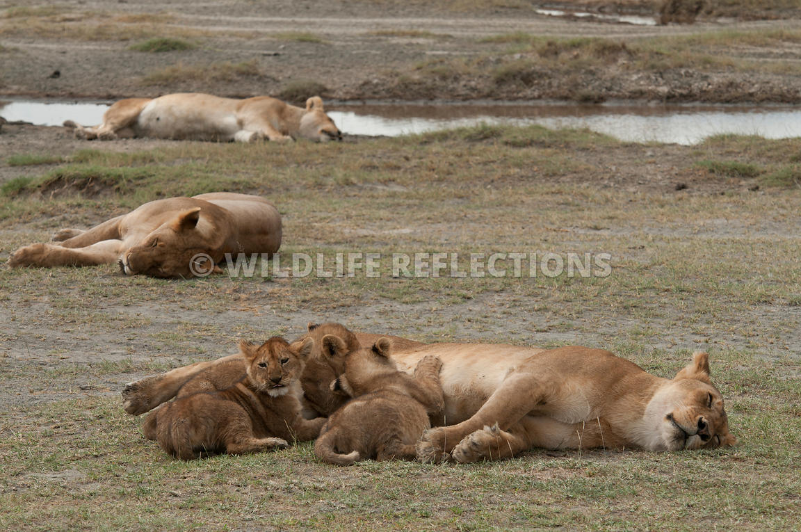 lion_family_sleeping_with_the_pride_3