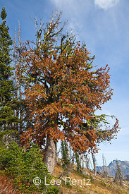 A Whitebark Pine (Pinus albicaulis) dying, probably from either White Pine Blister Rust (Cronartium ribicola) or a Mountain P...