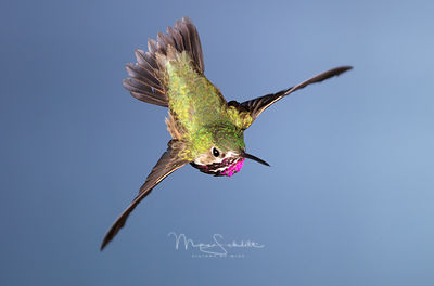 Cropped_Male_Calliope_flying_away_top_view_0059_edited-1