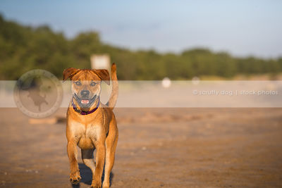 excited red dog running to camera on sand with minimal background