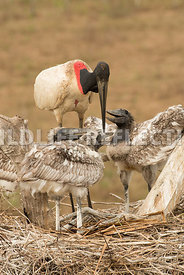 jabiru_stork_nest_close-22