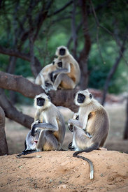 Wild langur monkey family in desert woodlands, Pushkar, Rajasthan, India