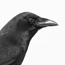 FACE OF A CROW