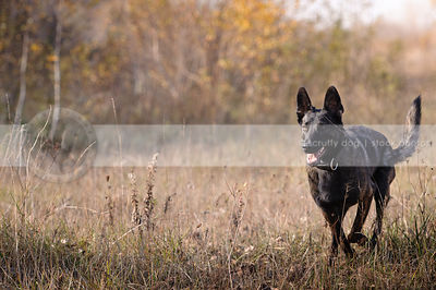 brindle dutch shepherd dog running in field