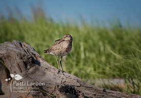 Willet Posing on Driftwood