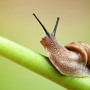 Common garden snail on green stem