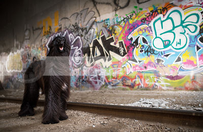 regal longhaired black dog standing in urban graffiti train tunnel