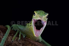 Emerald tree monitor (Varanus prasinus)