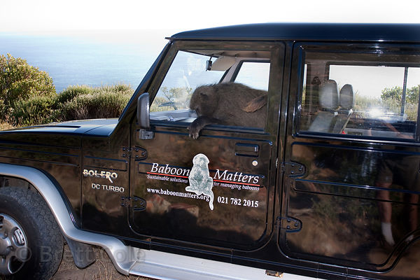 "Staff from the NGO Baboon Matters (www.baboonmatters.org.za) release an injured baboon from the Smitswinkel troop named ""Finc..."