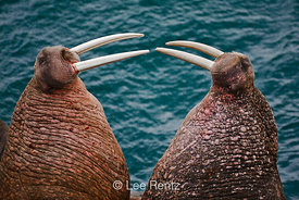 Pacific Walrus threat posture