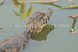 caiman_close_young-4