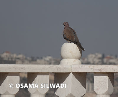 Birds of Palestine - The laughing dove