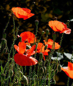 Coquelicots Ennery Val d'Oise 05/11
