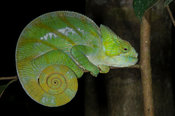 Jewelled chameleon, Furcifer lateralis, Andasibe-Mantadia National Park, Madagascar
